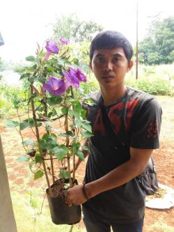 0857-140-78-512 JUAL BUNGA MORNING GLORY